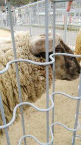 天王寺動物園のふれあい広場の羊