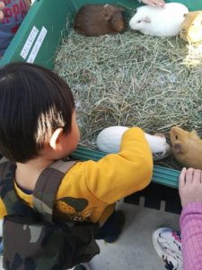 天王寺動物園のふれあい広場の天竺ネズミ