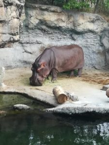 天王寺動物園の食事中のカバ