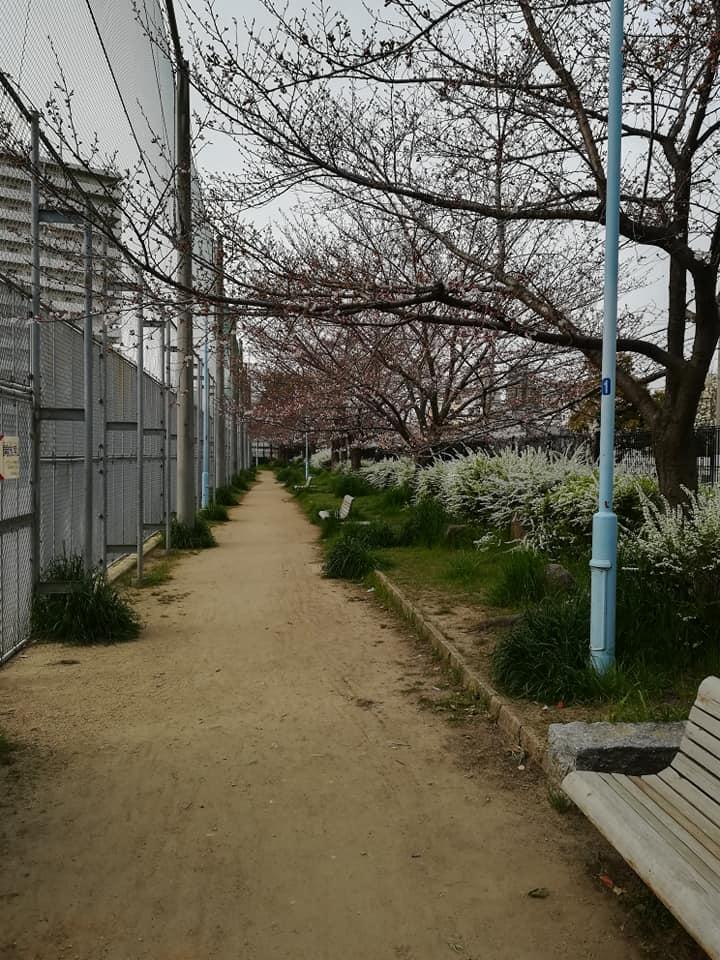 咲きかけの桜並木道