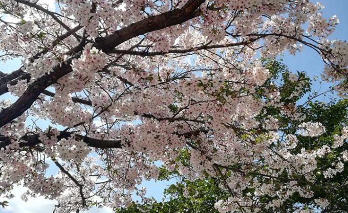 桜と緑の木