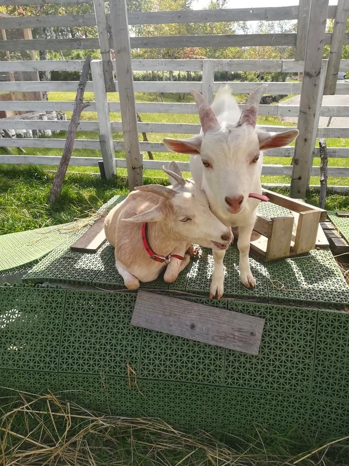ヤギのモカとミルク