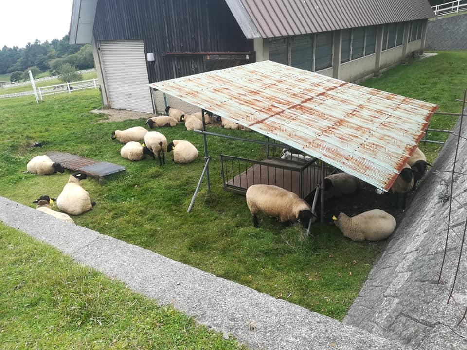 山梨県立まきば公園の羊