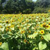 長居植物園のひまわり畑