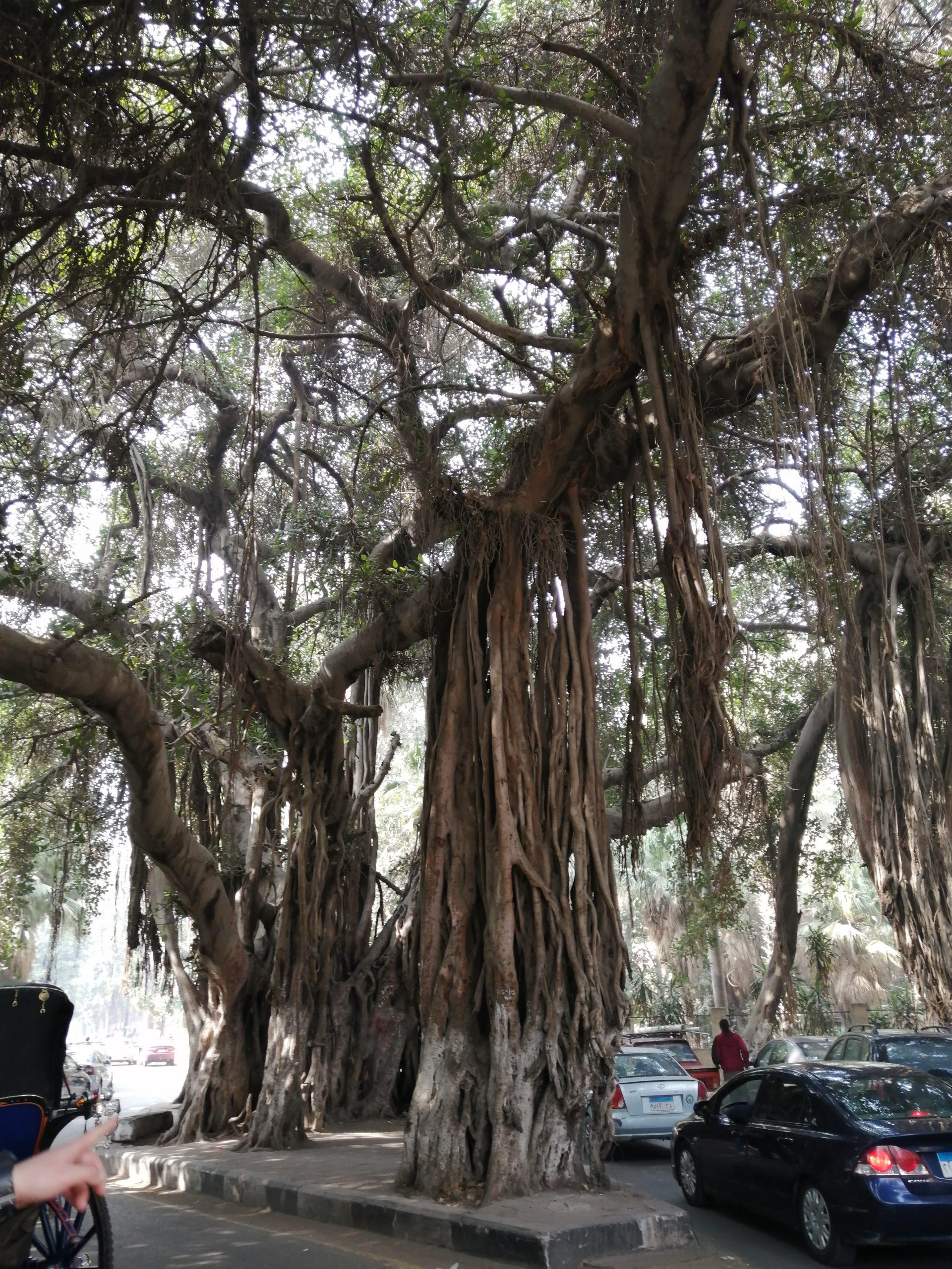 エジプトのカイロの木