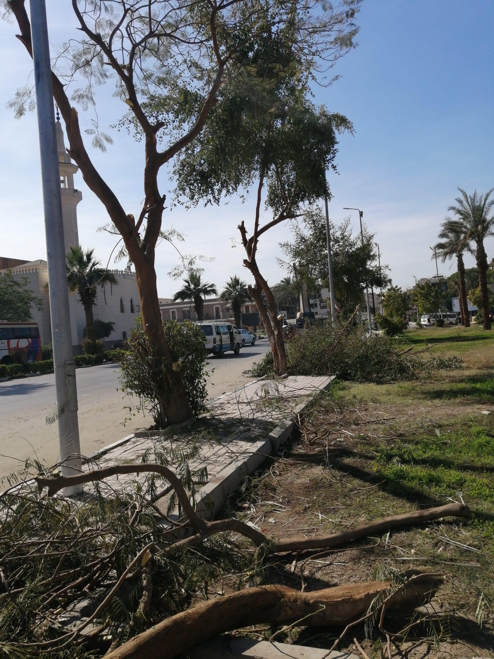 エジプトの伐採された街路樹