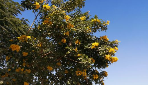 エジプトの黄色い花