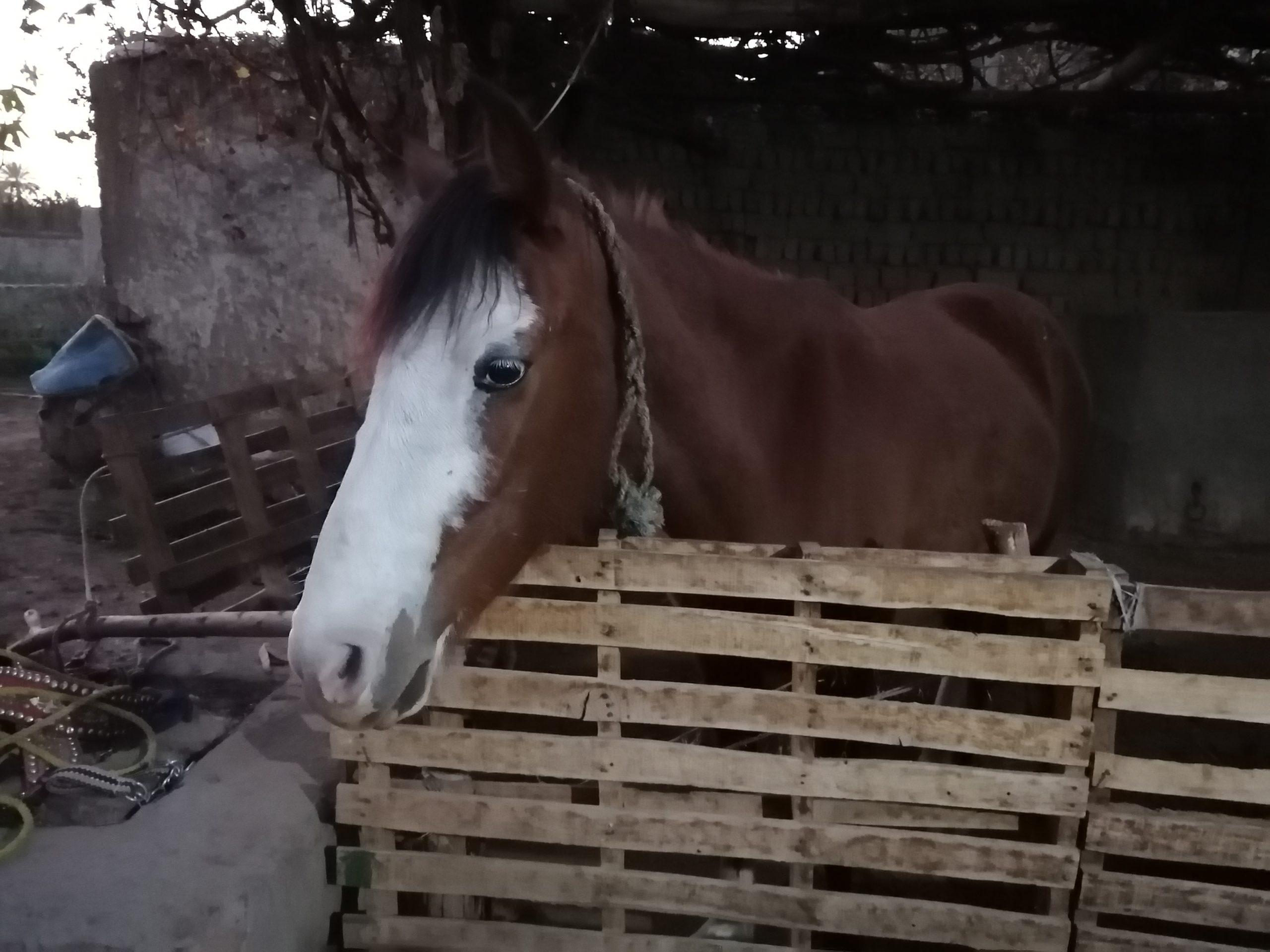 バナナ島の馬