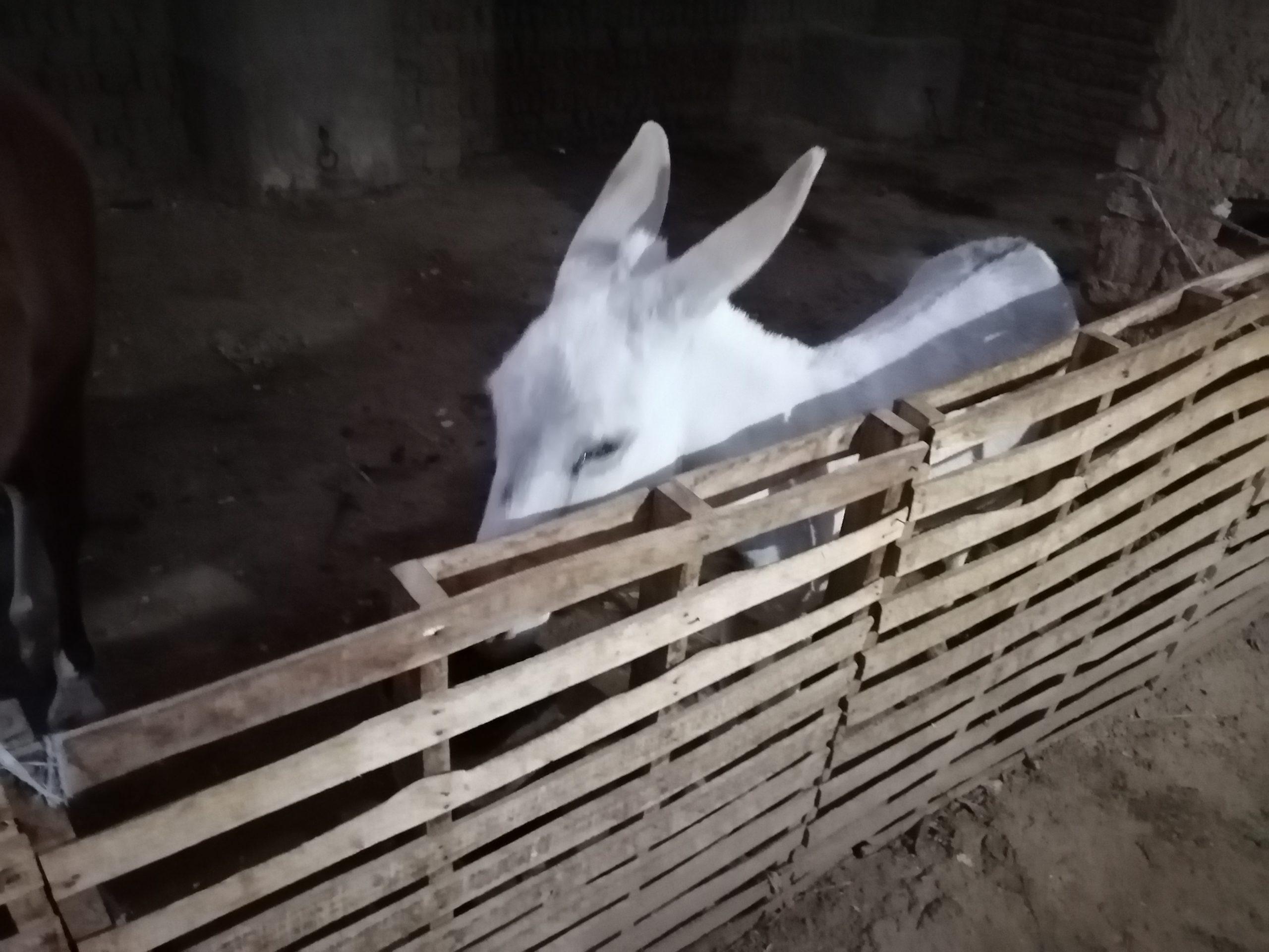 バナナアイランドのヤギ