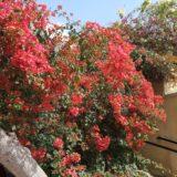 エジプトの花