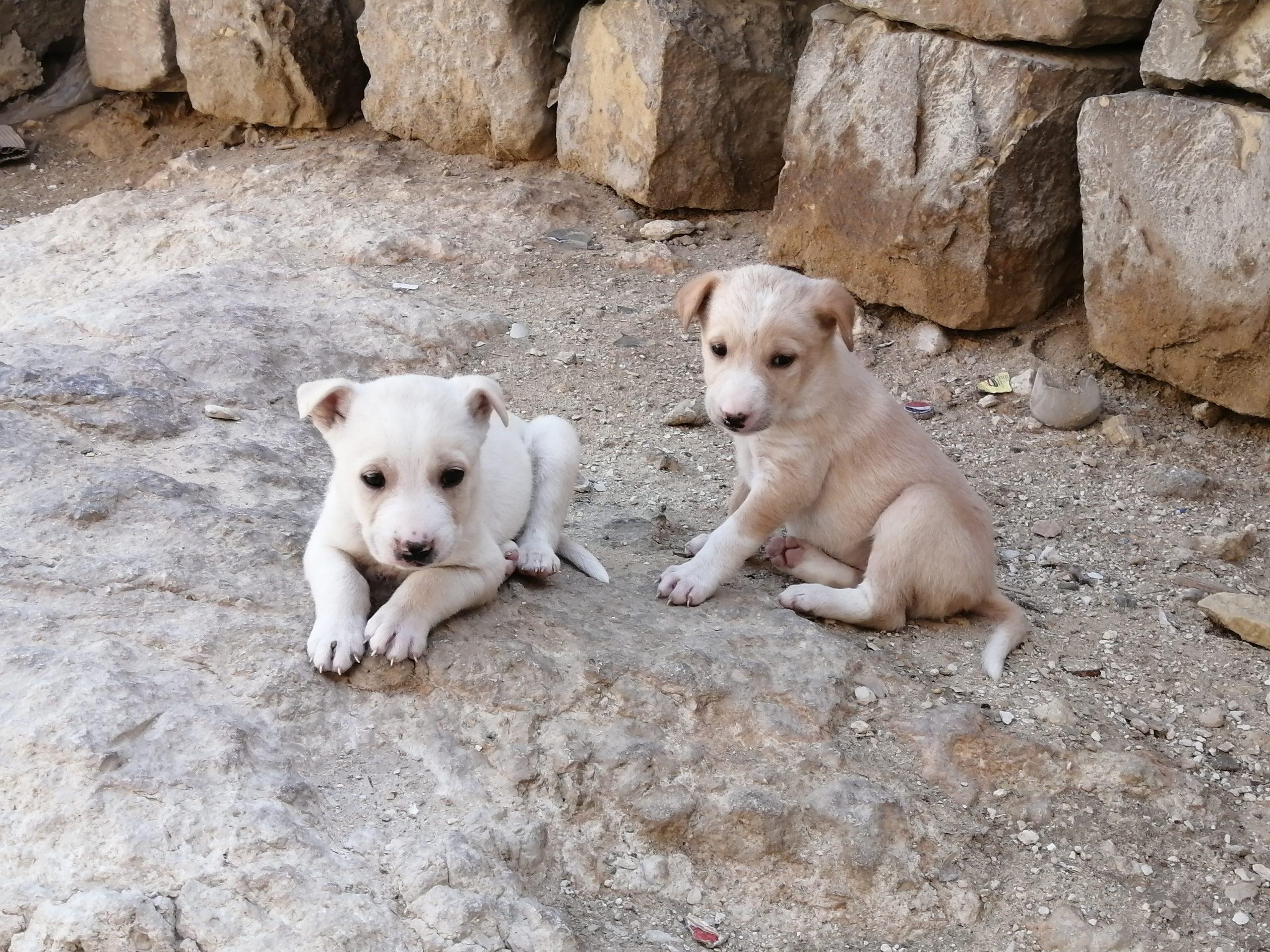 ギザのピラミッドの野良犬の赤ちゃん