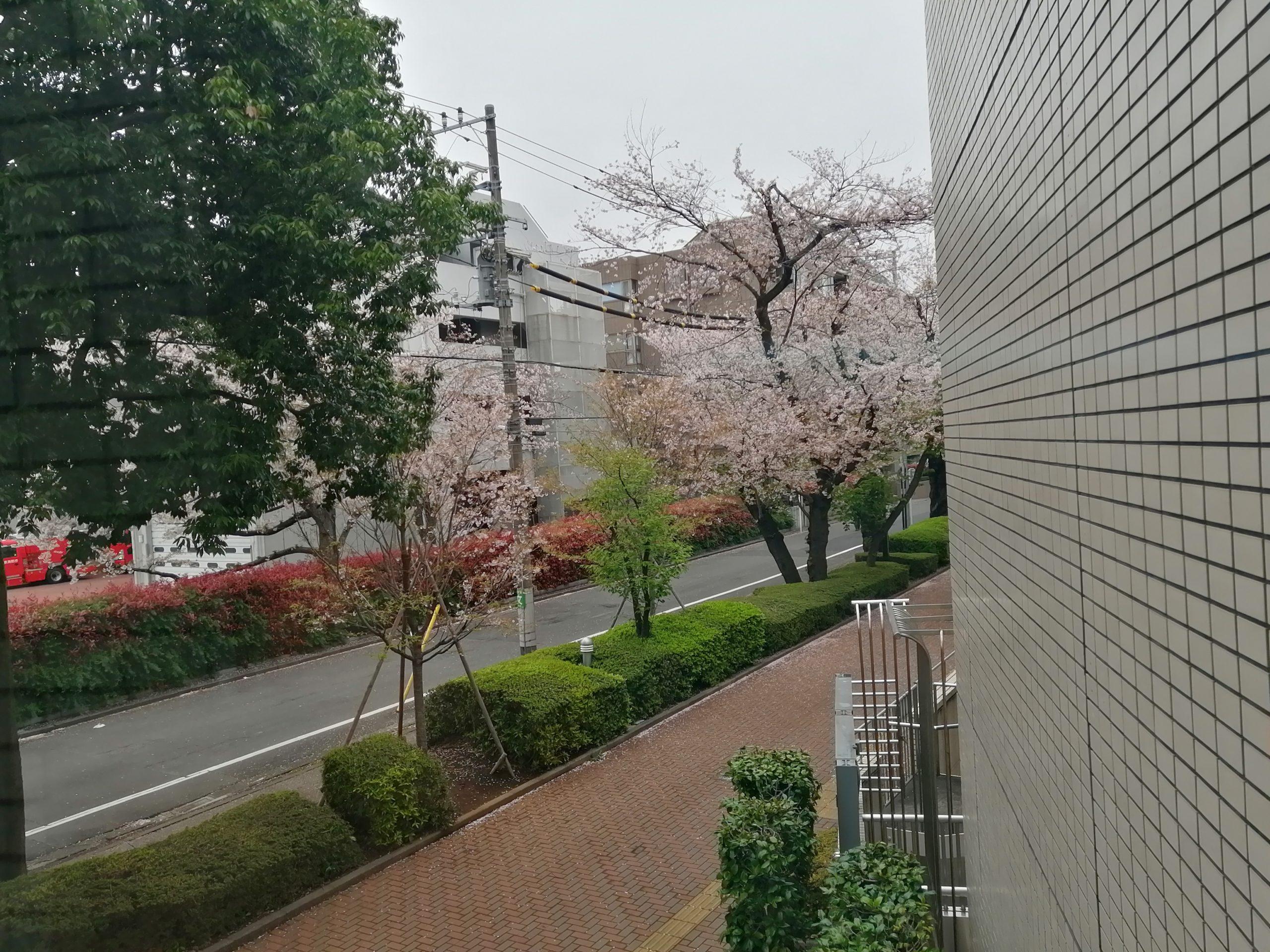 桜の街路樹