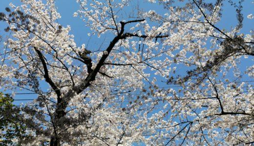 お花見は難しいけれど今年も桜が見られて嬉しい!今春は丁寧に暮らす