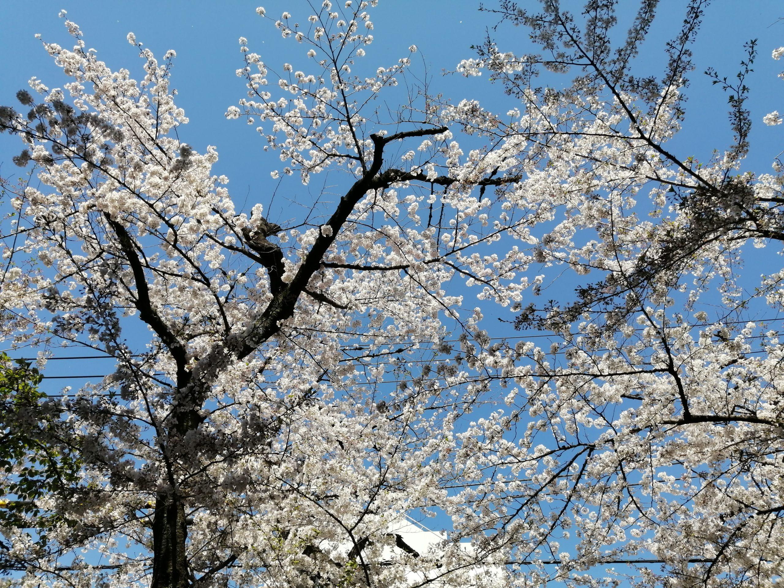 2020年の桜