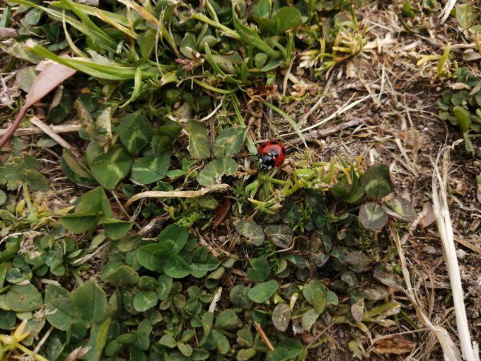 春の天道虫
