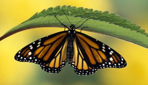 渡り鳥のように旅する蝶「オオカバマダラ」から・来た道と行く道を考える
