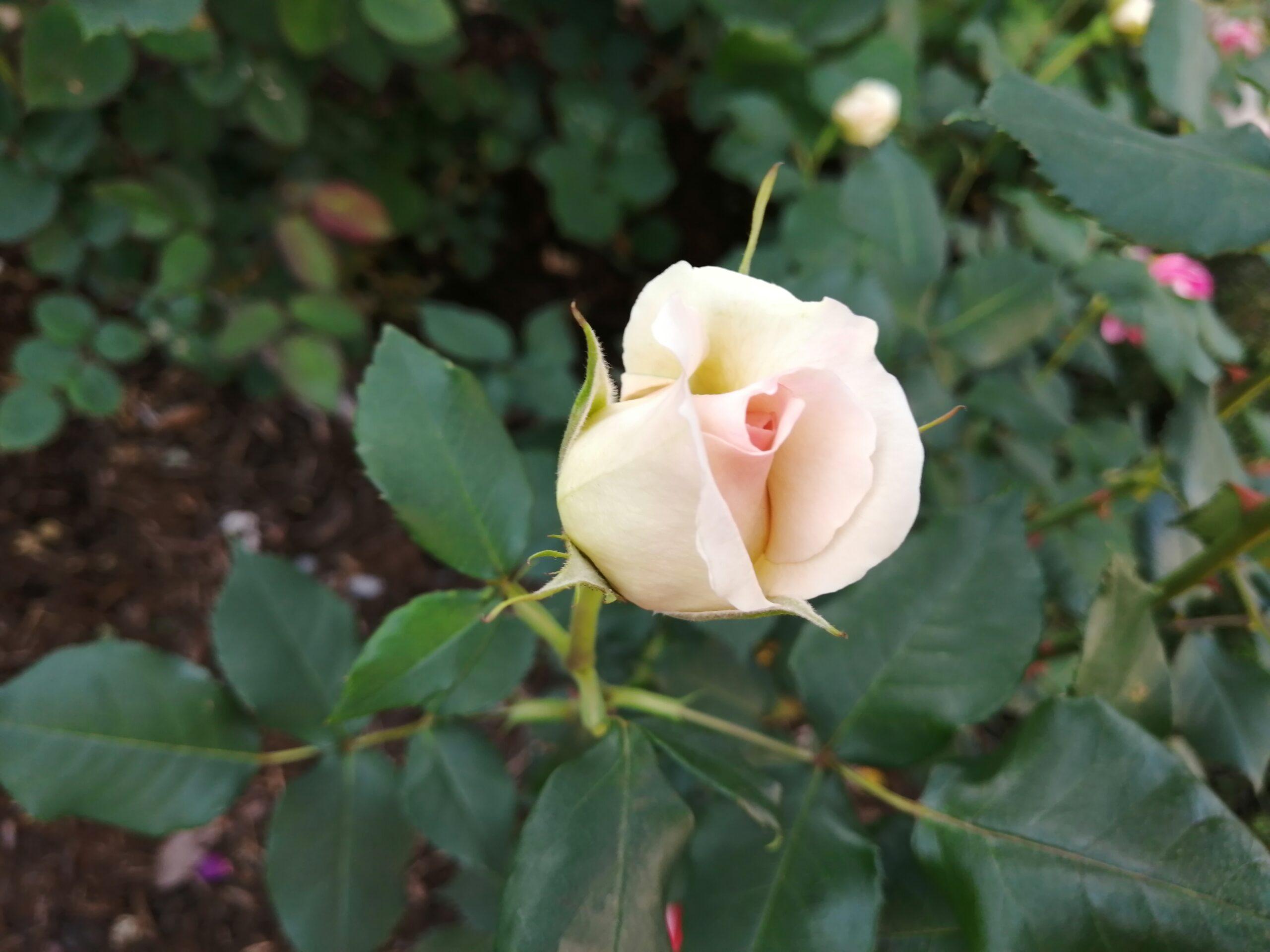 うすオレンジのバラ